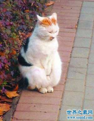 猥琐萌宠搓手猫,因天冷站起来搓手取暖(怀孕了)
